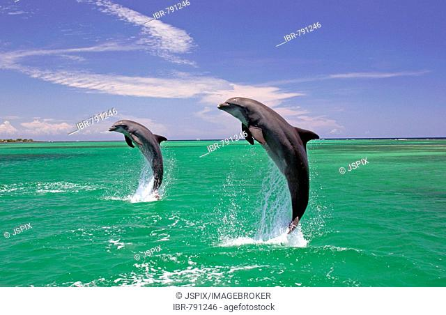 An adult pair of Bottlenose Dolphins (Tursiops truncatus) leaping out of the water, Caribbean, Roatán, Honduras, Central America
