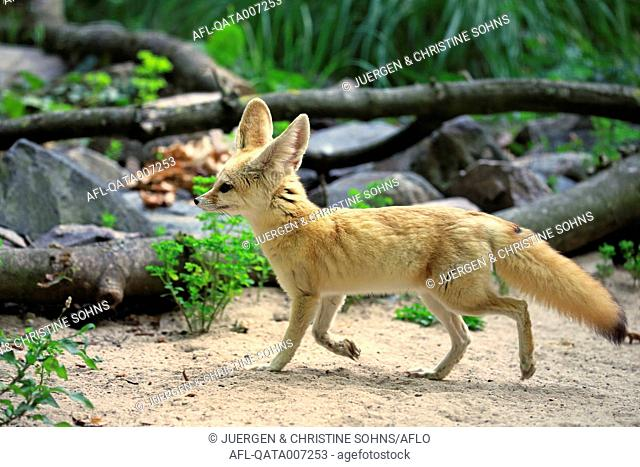 Fennec, (Vulpes zerda), adult walking, Africa