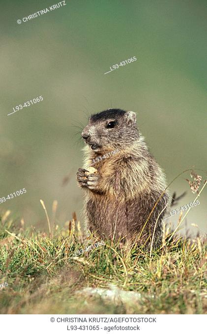 Marmot (Marmota marmota). Austria