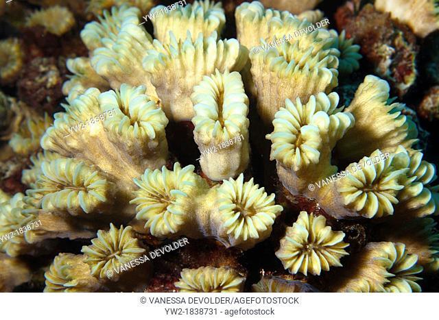 Smooth flower coral eusmilia fastigiata in the Caribbean Sea around Bonaire, Dutch Antilles