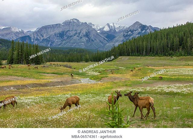 Wapitis (Cervus canadensis) grazing on a meadow at the foot of the Rocky Mountains, a river flowing through the valley