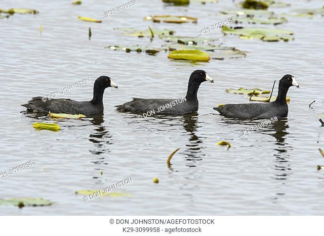 American coot (Fulica Americana) Foraging in marsh in early spring, Anahuac NWR, Texas, USA