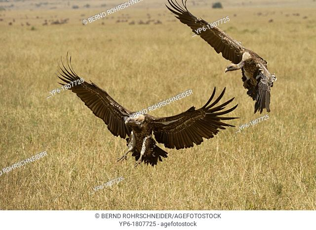Rüppell's Vultures Gyps rueppellii flying over savannah, Masai Mara, Kenya