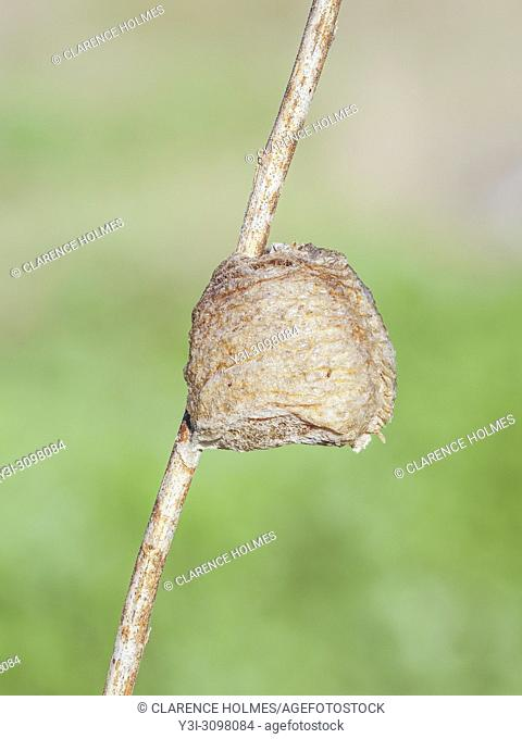 A Chinese Mantis (Tenodera sinensis sinensis) ootheca (egg mass) attached to a plant stem