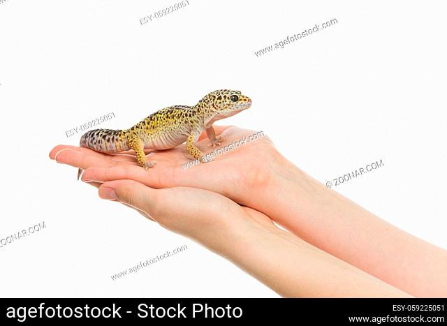 Small gicon lizard pet sitting on hands. Isolated over white background. Copy space