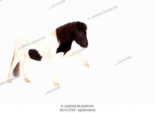 Shetland Pony. Piebald mare standing with front leg raised. Studio picture against a white background. Germany
