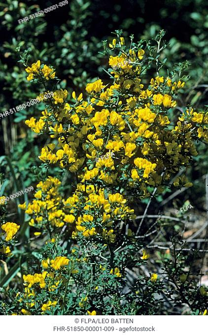 Thorny Broom Calicotome villosa in flower, Montenegro