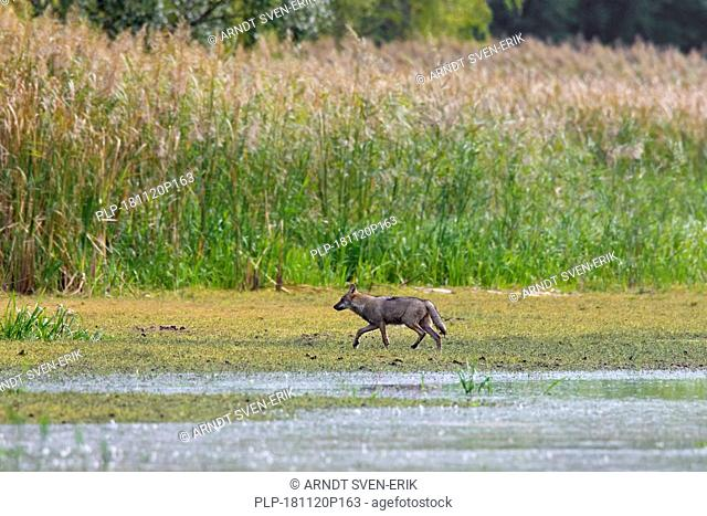 Solitary European gray wolf / wild grey wolf (Canis lupus) foraging along lake shore, Saxony / Sachsen, Germany