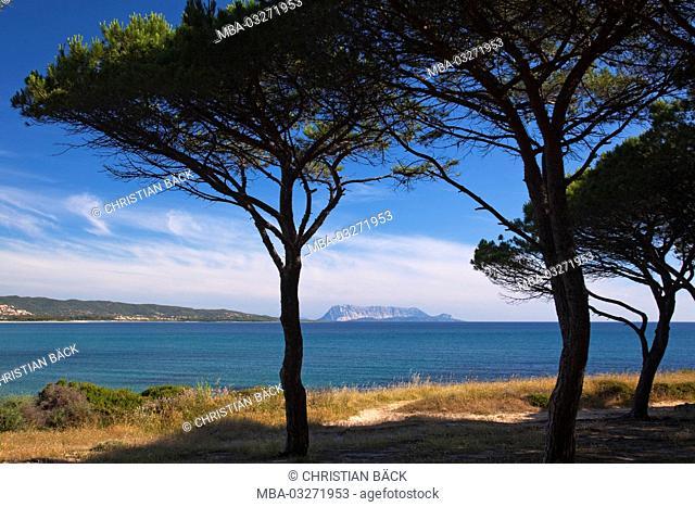 Pines at the beach of Porto Ainu, near Budoni, Gallura, East sardinia, Sardinia, Italy, Europe
