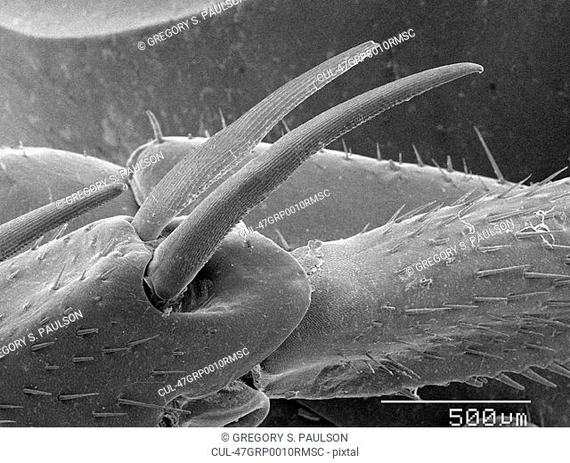 Magnified view of cockroach leg spurs