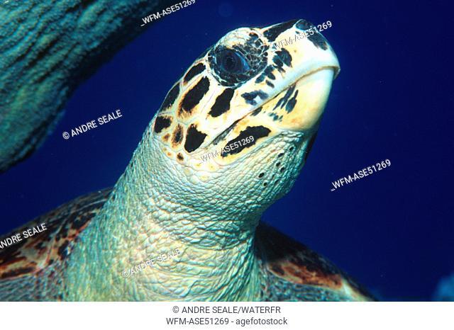 Hawksbill Turtle, Head Detail, Eretmochelys imbricata, Rongelap Atoll, Pacific, Marshall Islands