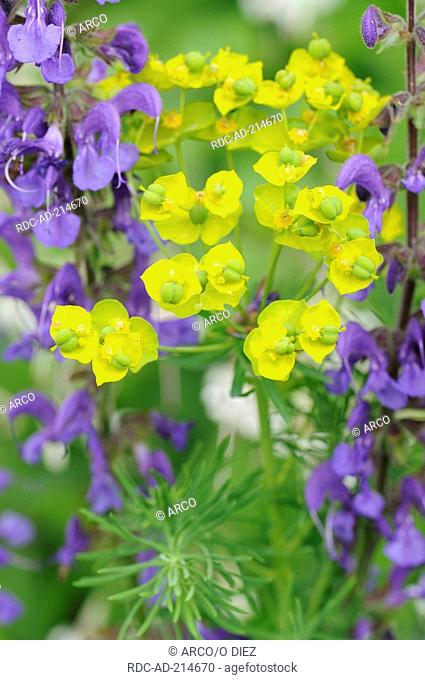 Meadow Clary and Cypress Spurge, Salvia pratensis, Euphorbia cyparissias