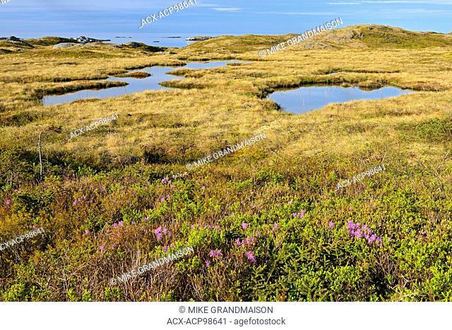 Laurel along the shoreline of the Cabot Strait Iles aux Morts Newfoundland & Labrador Canada