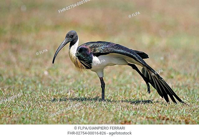 Straw-necked Ibis (Threskiornis spinicollis) adult, stretching wing and leg, Cairns, Queensland, Australia, September