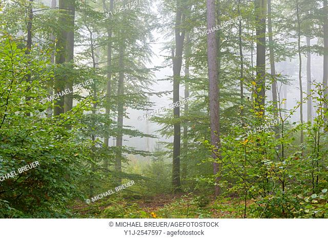 Beech Forest in Autumn, Nature park, Spessart, Bavaria, Germany, Europe