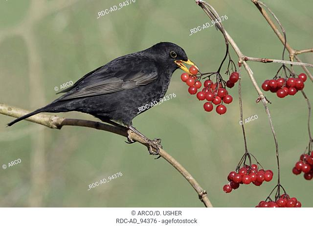 Blackbird male picking berries Lower Saxony Germany Turdus merula