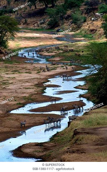 Herd of zebras at a river, Tarangire River, Tarangire National Park, Tanzania