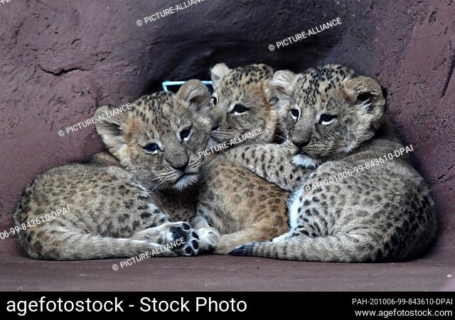 06 October 2020, Thuringia, Erfurt: Three baby lions show themselves in the lion savannah in the Thuringian zoo park. They were born at the end of August