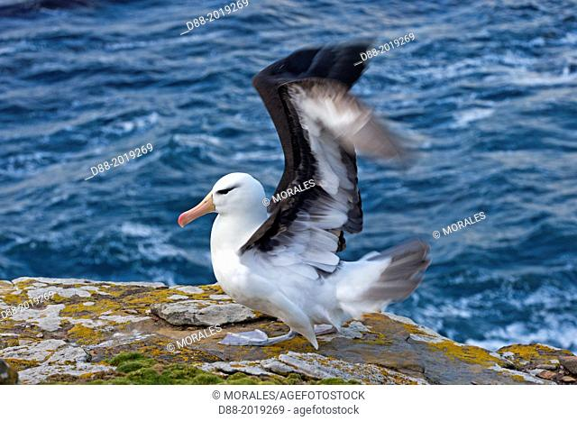 Falkland Islands, Saunders island, Black browed Albatross Thalassarche melanophrys,
