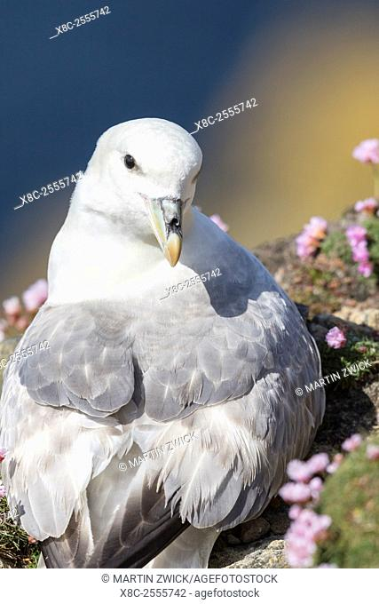 Northern Fulmar, also called Arctic Fulmar (Fulmarus glacialis). Europe, northern europe, great britain, Scotland, Shetland Islands, June