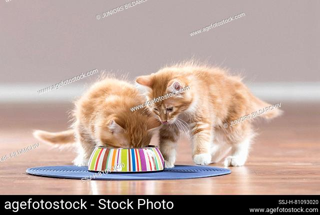 Maine Coon. American Longhair. Kitten eating from feeding bowl, a second wants its share. Germany