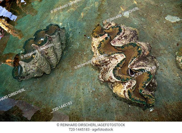 Giant Clam Farm, Tridacna gigas, Makogai, Lomaviti, Fiji