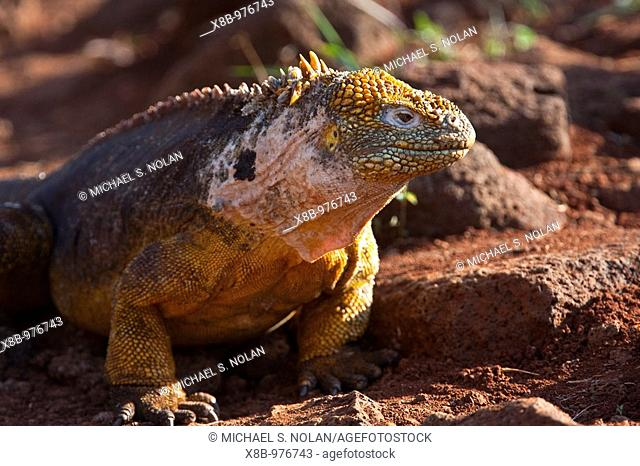 The very colorful Galapagos land iguana Conolophus subcristatus in the Galapagos Island Archipelago, Ecuador  MORE INFO: This large land iguana is endemic to...