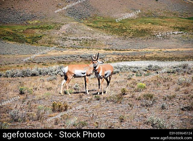 Mule Deer in Yellowstone National Park, Wyoming, USA. Maultierhirsche im Yellowstone Nationalpark, Wyoming, USA