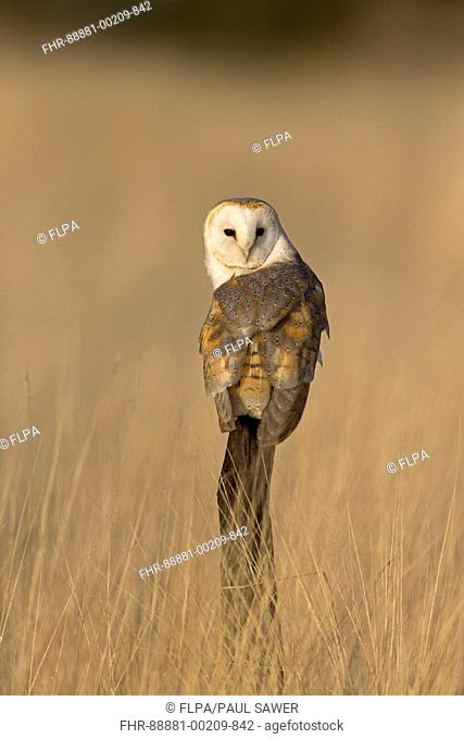 Barn Owl (Tyto alba) adult, perched on post in grassland, Suffolk, England, November, controlled subject