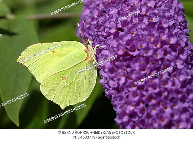 brimstone butterfly Gonepteryx rhamni sitting on flower, Rhineland-Palatinate, Germany