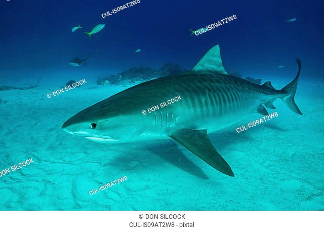 Tiger shark swimming on seabed, Tiger Beach, Bahamas