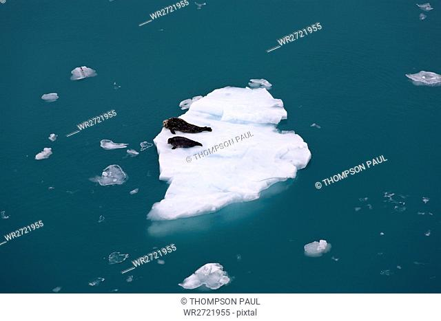 Two harbour seals, floating ice, Disenchantment Ba