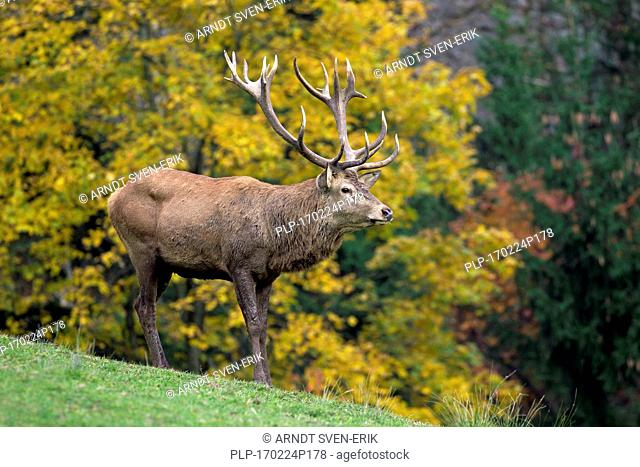 Red deer (Cervus elaphus) stag during the rutting season in autumn forest
