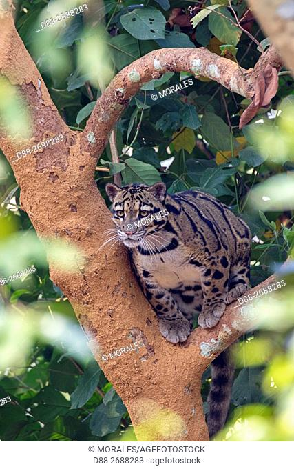 South east Asia, India,Tripura state,Clouded leopard (Neofelis nebulosa)
