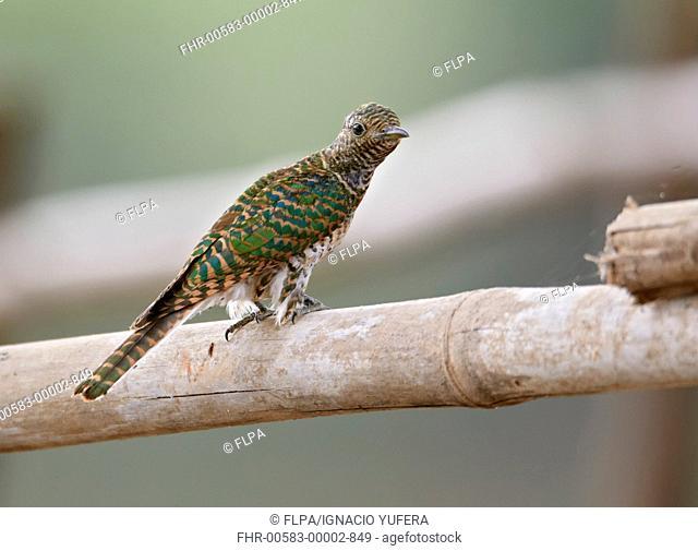 Klaas's Cuckoo Chrysococcyx klaas immature, perched on railing, Niokolo-Koba, Senegal, january