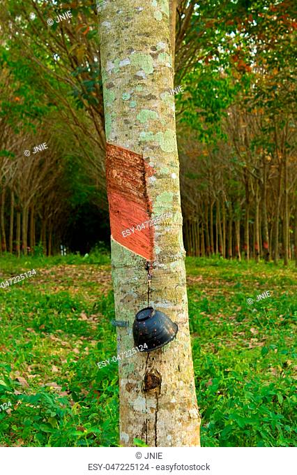 Rubber trees at Thailand