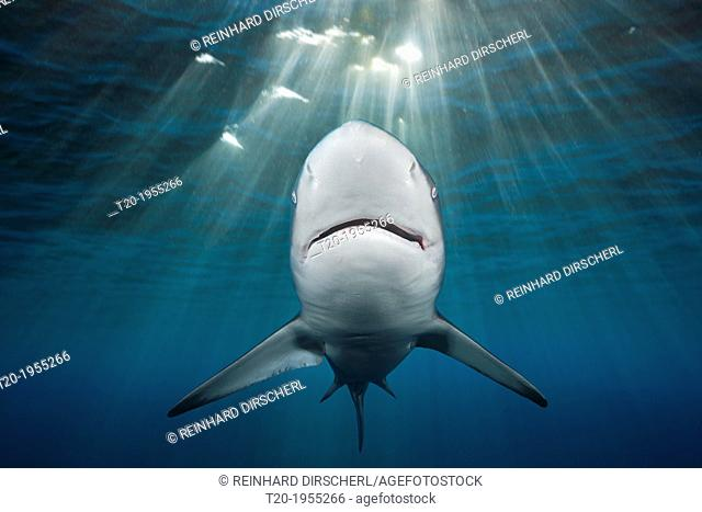 Blacktip Shark, Carcharhinus limbatus, Indian Ocean, Wild Coast, South Africa