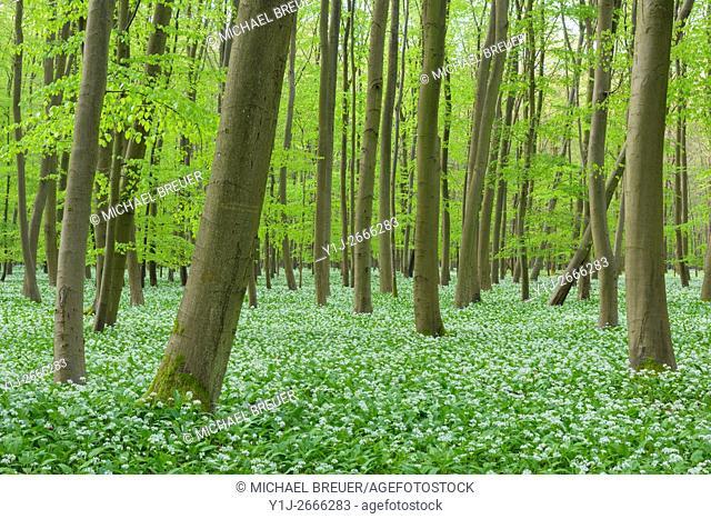 European Beech Forest (Fagus sylvatica) with Ramson (Allium ursinum) in Spring, Hesse, Germany, Europe