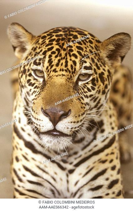 Jaguar face (Panthera onca) Amazonas, Brazil