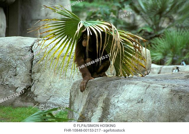 Orang Utang Pongo pygmaeus Sheltering under palm leaves