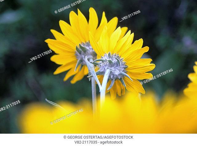 Balsamroot (Balsamorhiza deltoidea), Methow Wildlife Area, Washington
