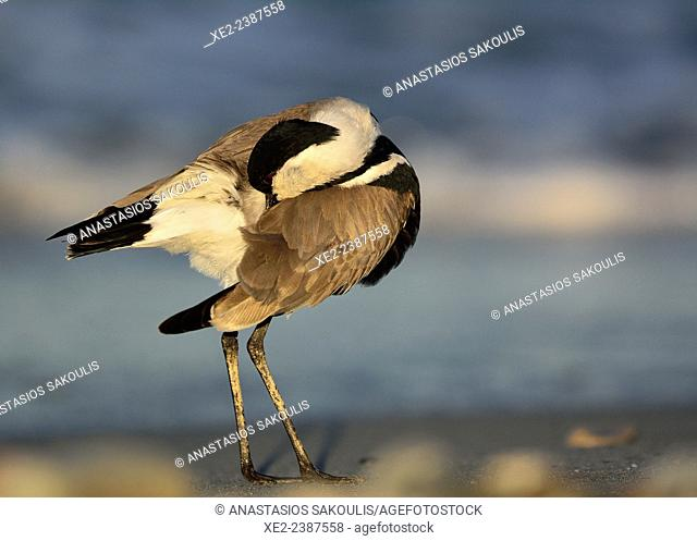 Spur-winged Lapwing or Spur-winged Plover Vanellus spinosus, Crete