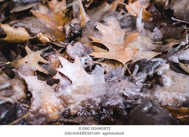 Fallen Leaves Frozen in Ice