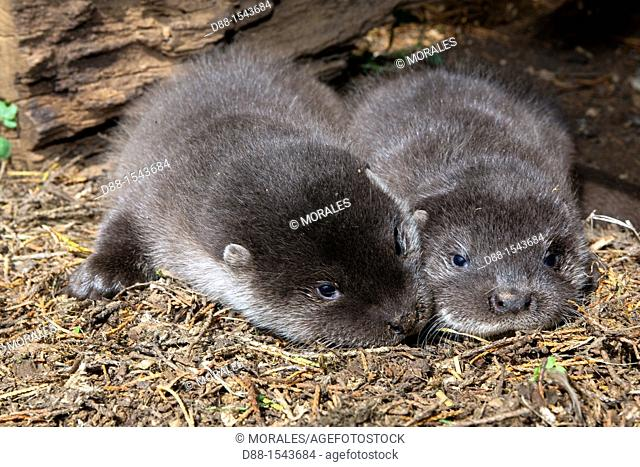 France , Lot , Young European Otter  Lutra lutra  , Ordre : Carnivora , Famille : Mustelidae