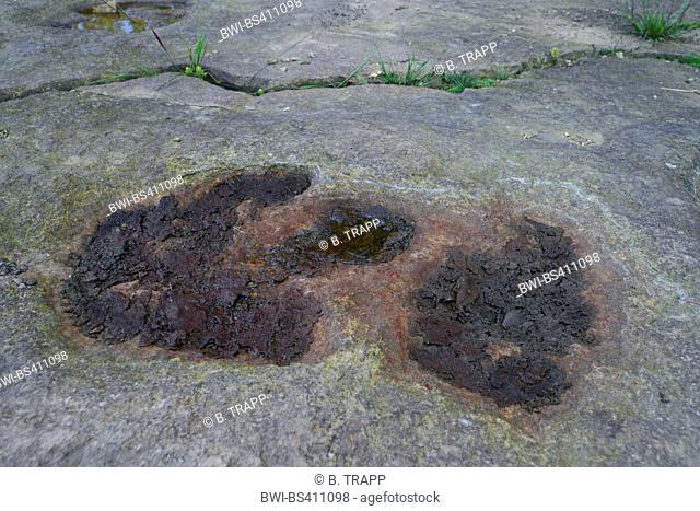 fossilized footprint of a dinosaur on sandstone, Germany, Lower Saxony, Obernkirchener Sandsteinbrueche, Obernkirchen