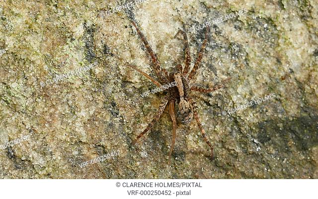 A Wolf Spider (Gladicosa pulchra) waits for a mate on a rock at the edge of a forested area in spring