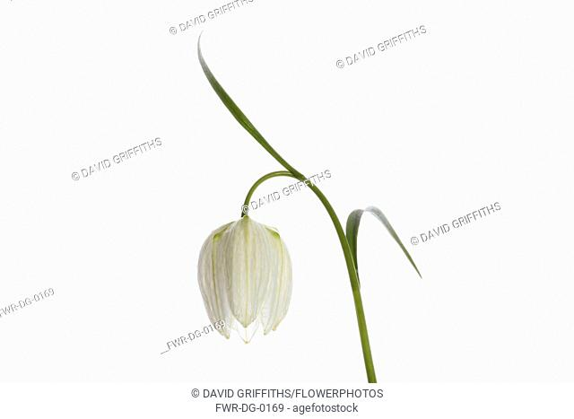 Snakes Head Fritillary, Fritillaria meleagris, Single white flower on stem, shown against a pure white background