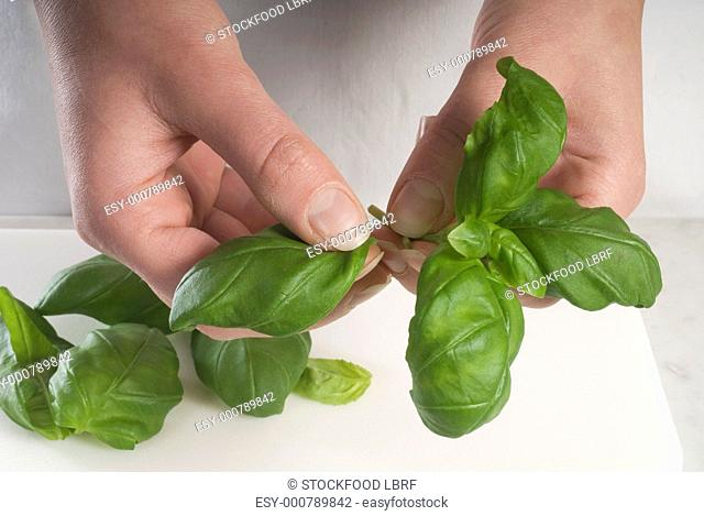Picking basil leaves from their stalks