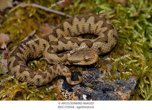 Nose-horned viper, juvenile