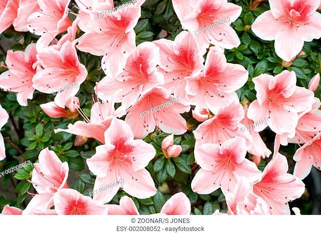 Azalea Rhododendron simsii 'Mevrouw Gerard Kint'